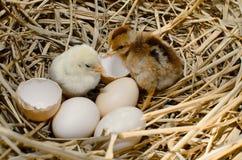 Beautiful little chicken, Royalty Free Stock Photo