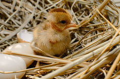 Beautiful little chicken, Stock Image