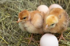 Beautiful little chicken, eggs and eggshell in nest. Newborn chicks on chicken farm royalty free stock images