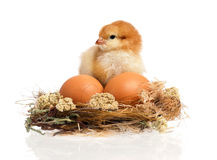Beautiful little chicken and eggs in nest Stock Image