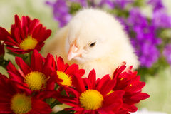 Beautiful little chicken. With flowers Stock Photos