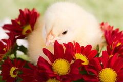 Beautiful little chicken. With flowers Stock Photo