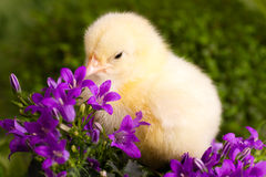 Beautiful little chickens. Beautiful little chicken with flowers Royalty Free Stock Photos