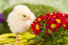 Beautiful little chicken. With flowers Royalty Free Stock Photography