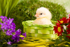 Beautiful little chicken. With flowers Stock Image