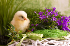 Beautiful little chicken. On green background Royalty Free Stock Photos