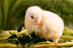 Beautiful little chicken Royalty Free Stock Image