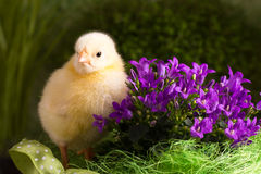 Beautiful little chicken. On green background Royalty Free Stock Image