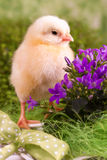 Beautiful little chicken. On green background Stock Photography