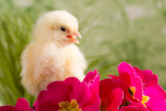 Beautiful little chicken. On green background Royalty Free Stock Photography