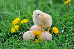 Beautiful little chicken. On green grass stock images