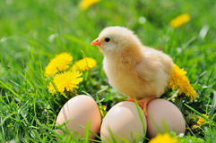 Beautiful little chicken. On green grass royalty free stock photo