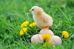 Beautiful little chicken. On green grass royalty free stock photography