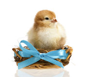 Beautiful little chicken in nest Stock Photography