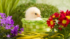 Beautiful little chickens. Beautiful little chicken with flowers Stock Image