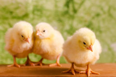 Beautiful little chickens Royalty Free Stock Images