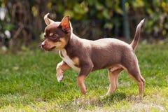 Beautiful little chihuahua Royalty Free Stock Photography