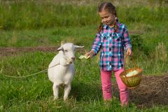 Little Russian Girl Feed Goat Cabbage. royalty free stock images