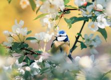 Beautiful little cute blue tit bird sits and sings in spring Par. Beautiful little cute blue tit bird sits and sings in spring Park in Sunny day in may royalty free stock photo