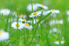 Beautiful little daisy in a meadow Stock Image