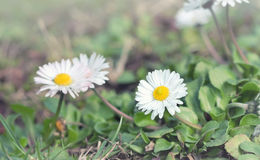 Beautiful little daisy - spring daisy Stock Images
