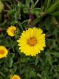 The beautiful little daisy in yellow after the rain royalty free stock image