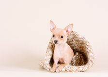Beautiful little dog in a knit bag. Royalty Free Stock Images