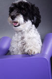 Beautiful little dog with purple chair. Beautiful little dog with purple children's chair Stock Image