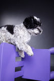Beautiful little dog with purple chair. Beautiful little dog with purple children's chair Royalty Free Stock Photo