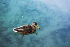 Beautiful little duck swims among the lake. Stock Images
