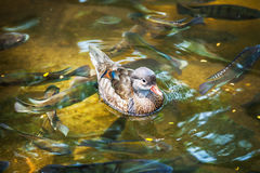 Beautiful little duck. Swims among Lakers Stock Photography