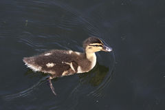 Beautiful little duckling swims in pond. Stock Photos