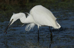 A beautiful Little Egret Egretta garzetta with a worm in its beak that it has just caught and is about to eat. Stock Images
