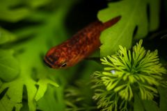 Beautiful little fish. Image of a beautiful little fish in an aquarium Royalty Free Stock Images