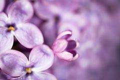 Beautiful little flowers of lilac. macro. Beautiful little flowers of lilac as background. macro Royalty Free Stock Image