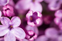 Beautiful little flowers of lilac. macro. Beautiful little flowers of lilac as background. macro Stock Photos