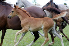 Beautiful little foal runs on meadow Stock Images
