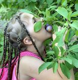 Beautiful little girl. A girl with African pigtails eats plums. royalty free stock photos