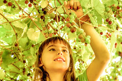 Beautiful little girl picking grapes in the summer Royalty Free Stock Photos