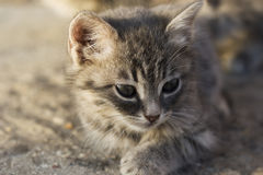 Beautiful little gray kitten closeup Stock Image