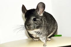 The beautiful little Grey chinchilla. Stock Image