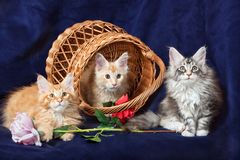 Beautiful little kittens Royalty Free Stock Photos
