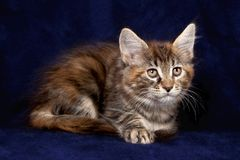 Beautiful little kittens Royalty Free Stock Photography