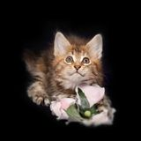 Beautiful little kittens Royalty Free Stock Photo