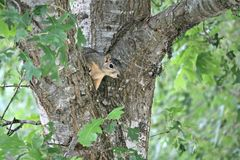 A beautiful little male fox squirrel peaking out between two branches of an oak tree. A beautifulmale little fox squirrel peaking out between two branches of a royalty free stock photo