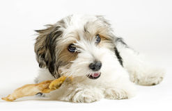 Small longhaired mixed dog, 16 weeks, Maltese and Yorkshire terrier. A beautiful little mixed puppy, 16 weeks old. He is a breed between Maltese and Yorkshire Royalty Free Stock Photo