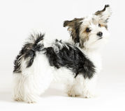Longhaired mixed dog, 16 weeks, Maltese and Yorkie Stock Photography