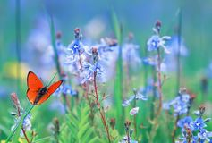 little orange butterfly sits on a summer meadow with lush green grass and bright blue flowers stock photography