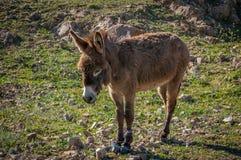 Beautiful Little orange donkey on pasture. Stock Images