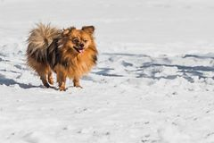A beautiful little orange Pomeranian or Pom is a breed of dog of the Spitz running in white snow in winter. A beautiful little orange Pomeranian or Pom is a royalty free stock photography